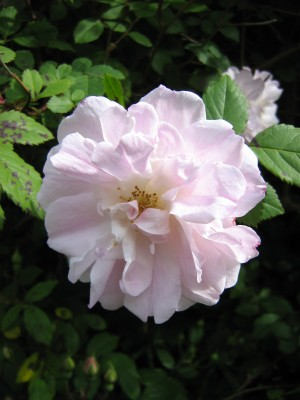 der findes en dyrebar rose